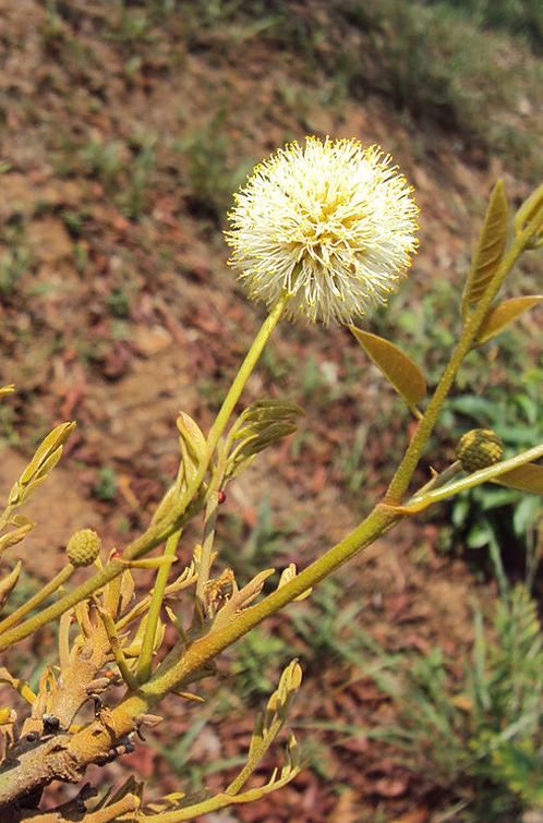 Xylia Xylocarpa: Auroville Botanical Garden